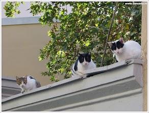 Афинские коты