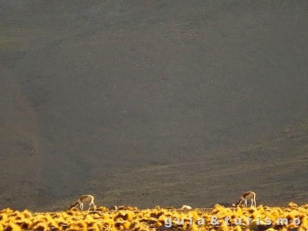 Geyser del tatio - Vicunhas