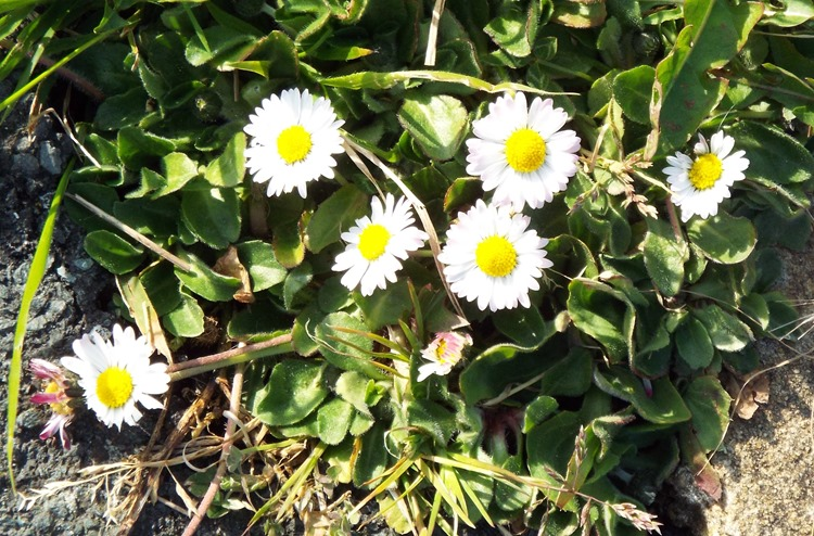 daisys in a crack on the pavement