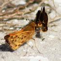 Fiery Skipper Butterfly (mating pair)