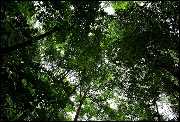 25e2 - Anna Ruby Falls Trail - Tree Canopy Above