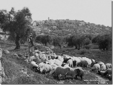Shepherd with flock near Bethlehem, mat06290