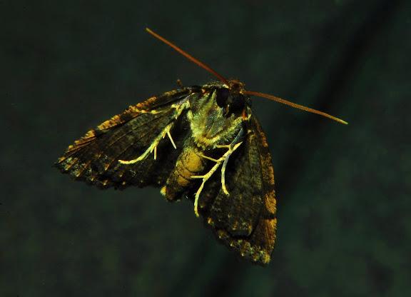 Geometridae : Ennominae : Nacophorini : Cryphaea xylina TURNER, 1917, verso. Umina Beach (New South Wales, Australie), 15 avril 2011. Photo : Barbara Kedzierski