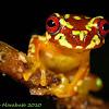 Copan brook frog