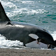 Orca Photo ID in Argentina's Coast