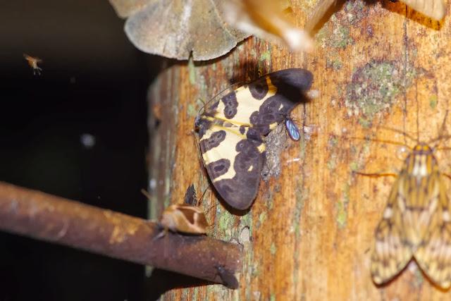 Geometridae : Ennominae : Pantherodes conglomerata WARREN, 1894. Los Cedros, 1400 m, Montagnes de Toisan, Cordillère de La Plata (Imbabura, Équateur), 18 novembre 2013. Photo : J.-M. Gayman