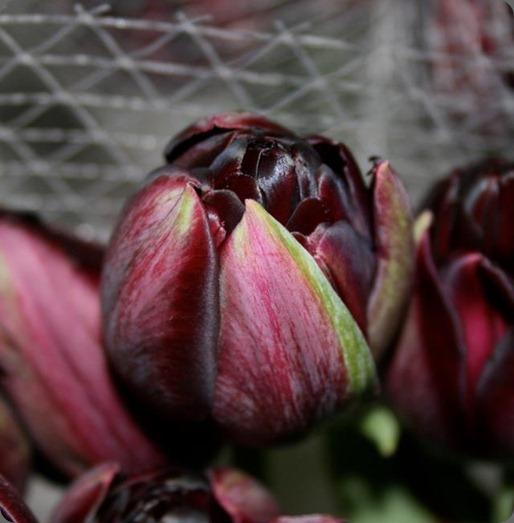 563747_10150670965512200_238587547199_9200859_1711703820_n black french tulip fllorabundance