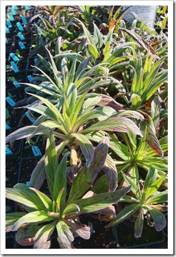 110211_AnniesAnnuals_Echium-wildprettii- -pininana-Mr-Happy_01