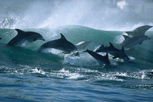 Wild dolphins riding surf