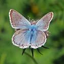 Chalkhill Blue - Argus bleu-nacré (male)