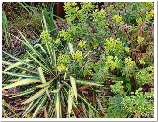 120330_Yucca-filamentosa-Color-Guard- -Euphorbia-martinii