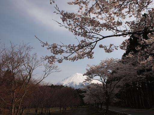 [写真]桜と富士山