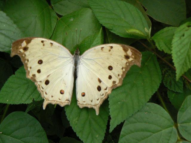 Protogoniomorpha parhassus parhassus(DRURY, 1782). Ebogo (Cameroun), 27 avril 2013. Photo : C. Renoton