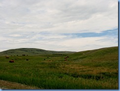 1159 Alberta - gravel roads between Head-Smashed-In Buffalo Jump Interpretive Centre and Pincher Creek - cattle
