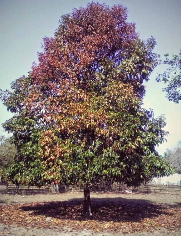 pokok manggis mati