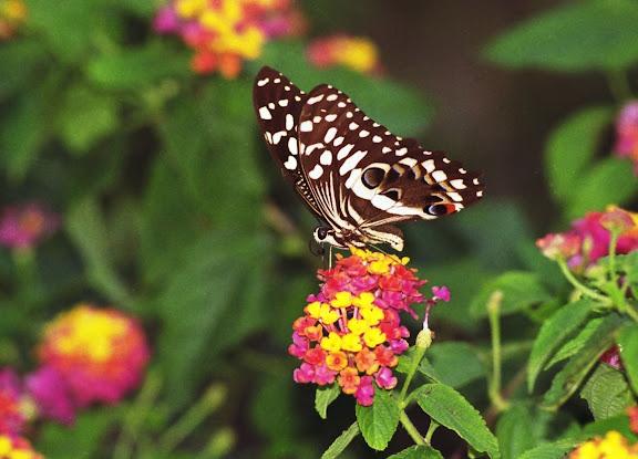Papilio demodocus demodocus ESPER, 1799. Vohilava, Île Sainte-Marie (Madgascar), 2001. Photo : Alexandre
