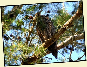 04a - Daddy Great Horned Owl