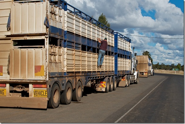 20110521-outback2011--mitchell--cattleTransports