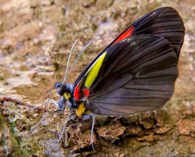 Pereute antodyca (BOISDUVAL, 1836). Curitiba (Paraná, Brésil), 7 janvier 2014. Photo : Mauricio Skrock