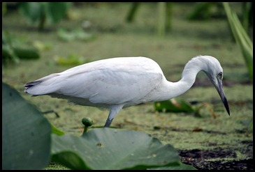 08 - Animals - Great Egret 2