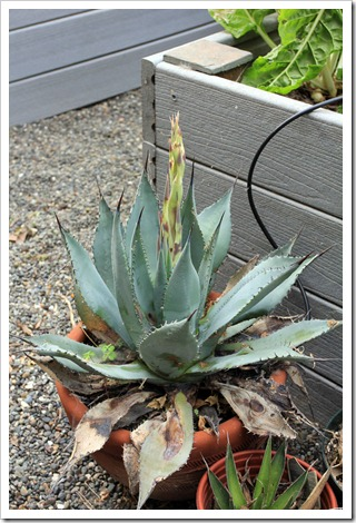 130506_Agave-parryi-with-flower-spike_03