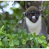 The lesser spot-nosed monkey
