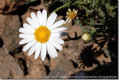 111 Margarita del Teide