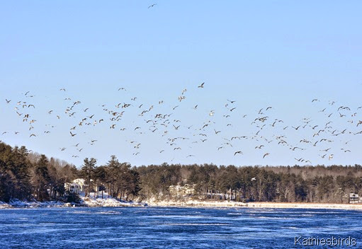 15. gulls in flight-kab