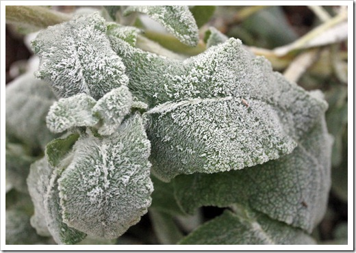 121220_first_frost_Salvia-canariensis_01