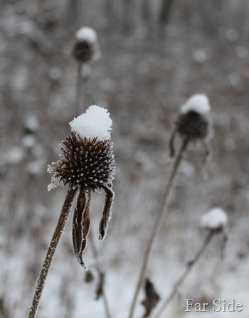 Frosty Coneflowers