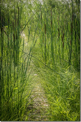 Cattails IMG_2361