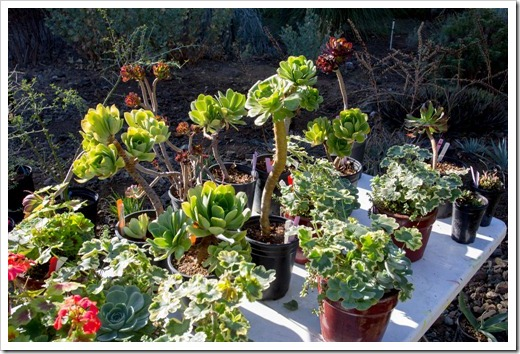 121013_RBG_fall_sale_sale-table-aeoniums