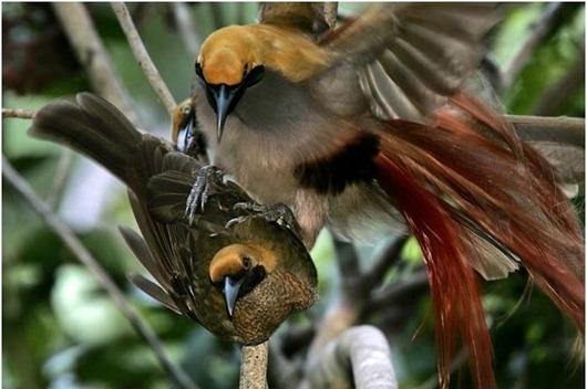 Тим Ламан: Тайны райских птиц Paradisaea decora II