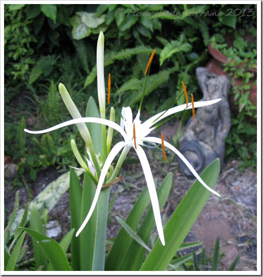 07-23-spider-lily2
