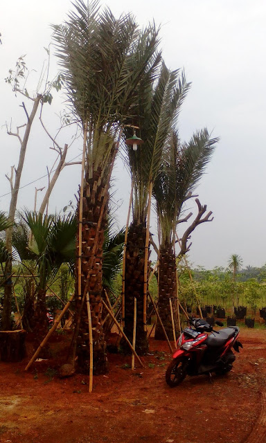 pohon palm kurma tanaman pelindung murah