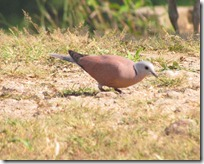 .5 Red collered Dove ( 89 kb )