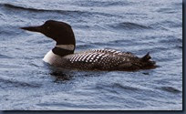 800px-Common_Loon