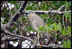 00h3 - Animals - Juvenile Yellow Crown Night Heron
