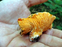 Hypomyces lactifluorum LOBSTER in hand