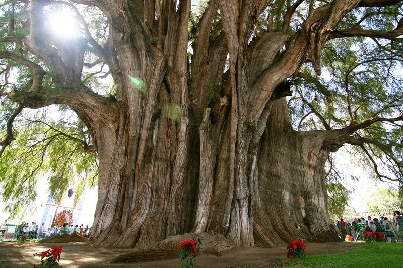 tule-tree-3