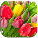 Drops on tulips icon