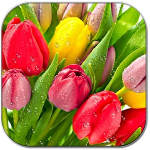 Drops on tulips apk