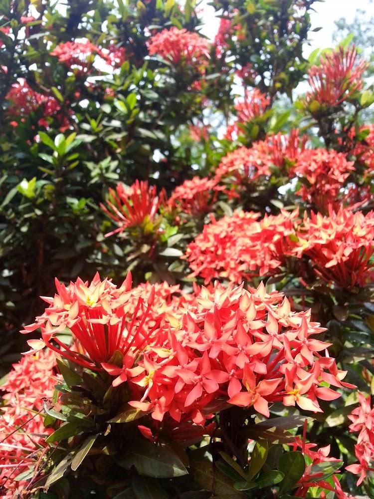 Bunga Jarum