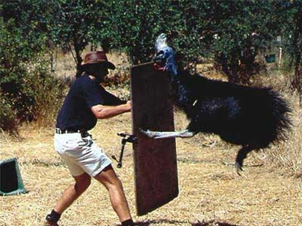 Cassowary and man attack