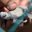 Olive ridley sea turtle (Golfina)
