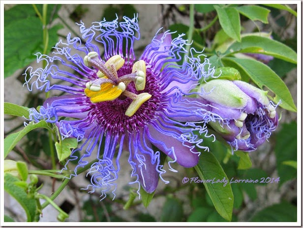 07-30-passion-flower