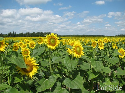 Sunflower Field in 2011