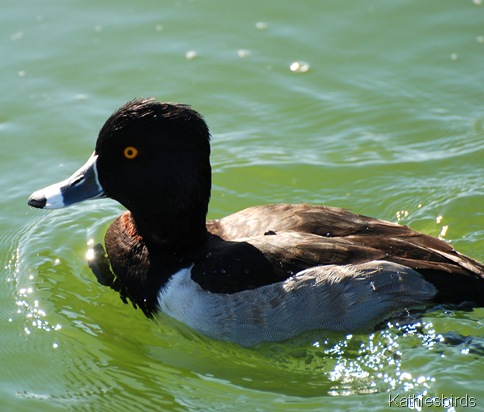 5. ring necked duck-kab