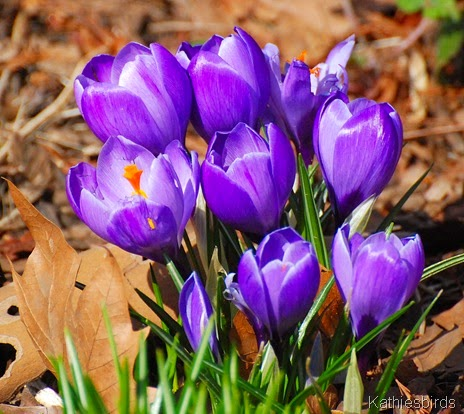 1. crocus in central park-kab