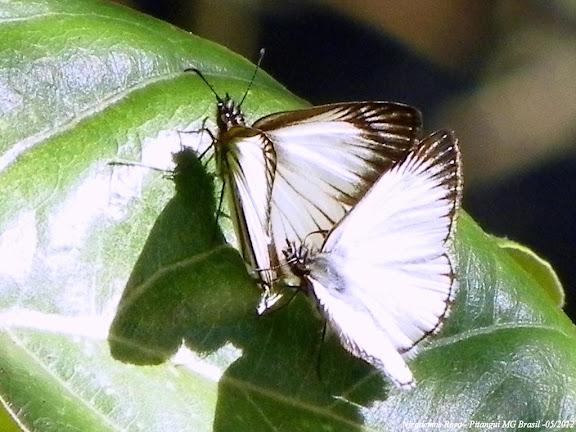 Heliopetes arsalte arsalte (LINNAEUS, 1758). Pitangui (MG, Brésil), 5 mai 2012. Photo : Nicodemos Rosa